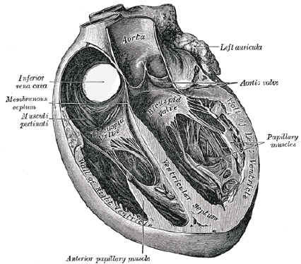 Gray's Anatomy Atlas Heart